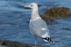 도대체 왜 이 녀석은 옅은재갈매기[American Herring Gull]가 아닌걸까?