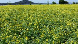 [여행] 성산일출봉 근처 유채꽃 밭