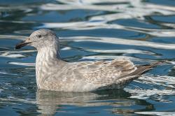 기사문항의 수리갈매기 X 큰재갈매기[Glaucous-winged X Slaty-backed Gull] 1회 겨울깃 Hybrid?