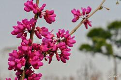 박태기나무꽃