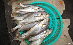 [차례상 생선] 국내산 참조기와 부세조기 구별법