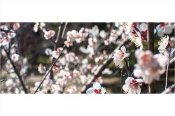 제주는 매화꽃이 터지고 봄이 시작된다.