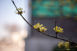 산수유 꽃