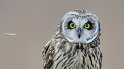 쇠부엉이의 얼굴은 하트 하트모양 이다?^^ Short-eared owl