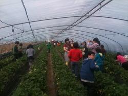 고령 딸기 수확체험 《 한들농장 》
