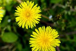 민들레 & 봄꽃
