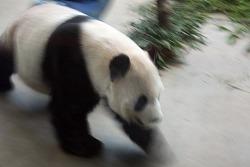 대만여행중 타이베이 동물원에서 만난 귀여운 팬더
