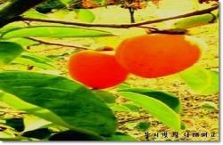 홍시   (무지갯 빛 나래펴고)