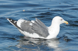 수리갈매기의 머리에 큰재갈매기의 등판을 가진 키메라 갈매기[Chimera Gull]
