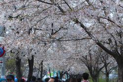 4월 5일 여의도 윤중로 벚꽃