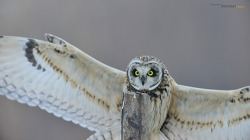 쇠부엉이가 준 1초의 순간 그  1초의 착지순간  Short-eared owl
