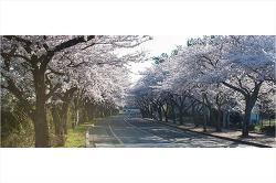 흐드러지게 피어버린 제주의 봄 그리고 벚꽃