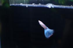 12년간의 물생활 그리고 사랑하는 구피소개-선셋미가리프, 네온블루 슈퍼화이트, 알비노 풀레드