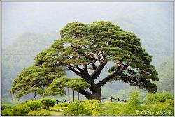 [충북]영월 솔고개 소나무