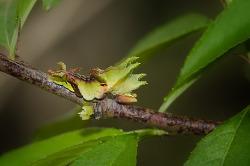왕세줄나비 애벌레