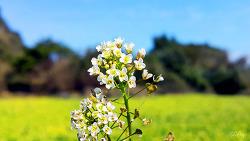 올레길에서 만난 밭 돌담 뒤 순백색의 '무우꽃'