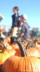 미국 할로윈을 앞두고 펌킨농장에 몰린 인파