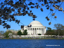 워싱턴 디씨 벚꽃 축제_Washington DC Cherry blossom festival