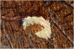네발나비의  C