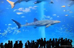 오키나와 츄라우미 돌고래쇼 & 고래상어 먹이주기 쇼쇼쇼