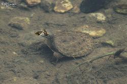 자라 [Soft-shelled Turtle]
