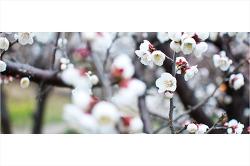 남쪽나라 제주의 수줍게 피어나는 봄 이야기! 매화 그리고 봄!