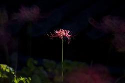 길상사 꽃무릇