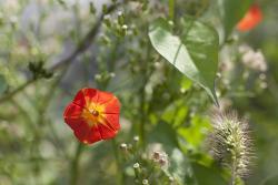 작은 별을 품고 있는 꽃, 둥근잎유홍초