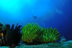 Cronoid and Diver, Sabang Beach, Mindoro, Philippines