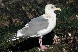 소돌항의 수리갈매기 X 큰재갈매기[Glaucous-winged X Slaty-backed Gull] 4회 겨울깃