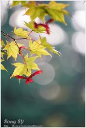 농협대학-단풍나무