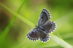 작은홍띠점박이푸른부전나비