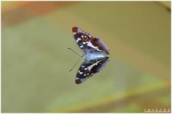 번개오색나비