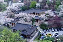 우이동 영빈관 벚꽃