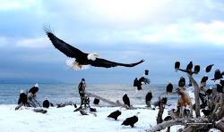 알라스카 흰머리 독수리나라에서...