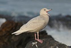 쇠흰갈매기 유조/1회 겨울깃 Glaucous Gull[Larus hyperboreus barrovianus] Juvenile/1st winter?