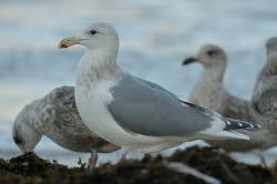주문진의 수리갈매기 X 큰재갈매기[Glaucous-winged X Slaty-backed Gull] Hybrid?