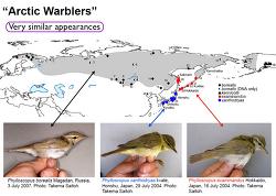 쇠솔새, 솔새, Japanese Leaf Warbler의 종 분리 및 동정에 관한 간단한 소개