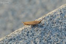 섬서구메뚜기