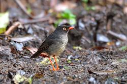 Slaty-backed Nightingale-Thrush, 18cm