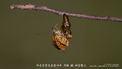 작은은점선표범나비(Clossiana perryi) 우화 4K Timelapse with Laowa 60mm f2.8 2X Ultra-Macro