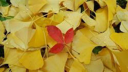 가을비 머금은 은행잎