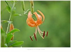 [7월 주황색야생화] 비에 젖은 주근깨소녀 참나리꽃 - 올림픽공원에서