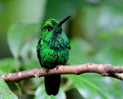 Green-crowned Brilliant, 13cm