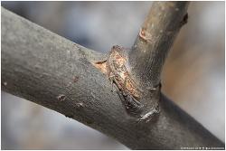 황오색나비 월동 애벌레