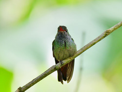 Rufous-tailed Hummingbird, 10cm