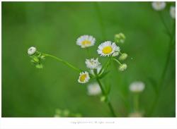 [7월 흰색야생화]  밭잡초 개망초(풍년초) 꽃향기
