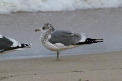 갈매기 [Mew Gull]