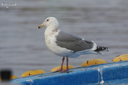 Hybrid Gulls ? Glaucous-winged Gull ?