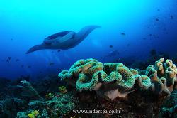 Manta Ray &Batfish, Raja Ampat, Indonesia